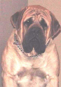 Gem of Jersey Mastiffs